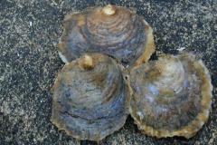 østers